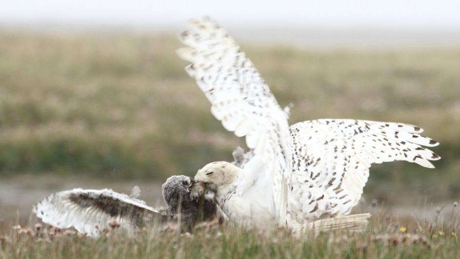 Snowy Owl - Queen of the North - Terra Mater Factual Studios