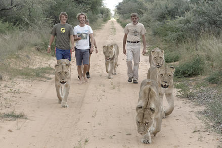Animal Boot Camp - Men and Lioness walking along the street