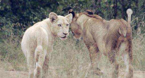 White Lions – Born Wild
