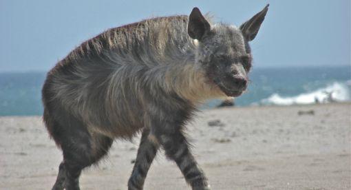 Strandwolf