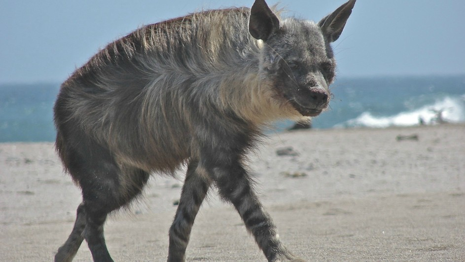 Skeleton Coast Namibia >> Strandwolf - Terra Mater Factual Studios