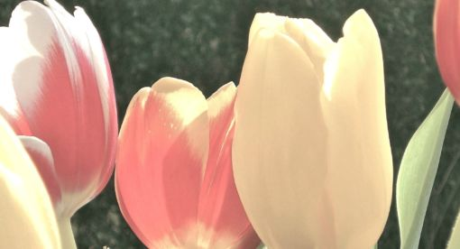 The Tulip Bubble