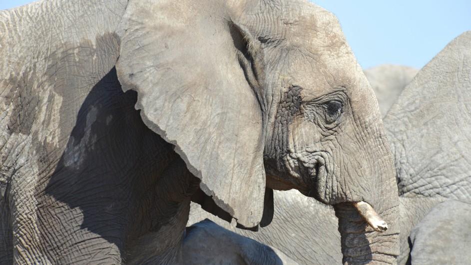 Souvent Elephant King - Terra Mater Factual Studios OC01