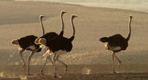 Ostrich - Born to run