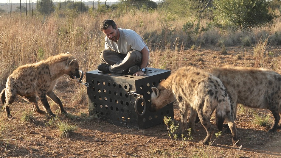 lion attacking elephant