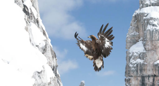 Golden Eagle – Call of the Wild