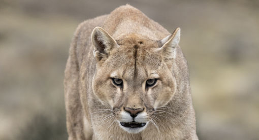 Pumas – Legends of the Ice Mountain