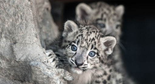 Snow Leopard – Footprints in the Snow