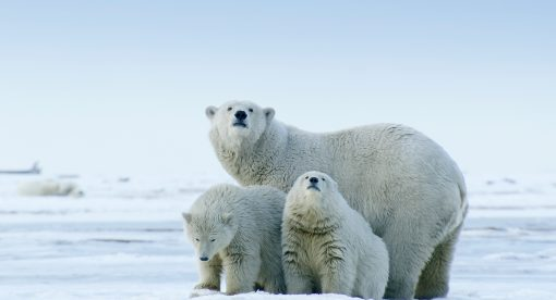 America's Arctic – A Refuge Imperiled