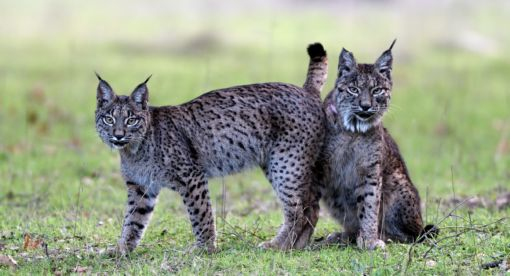 Dehesa – Forest of the Iberian Lynx