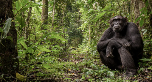 Survivors – The Chimps of Kibale Forest