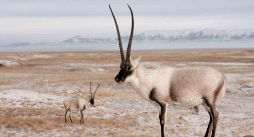 Rare Survivors – China's iconic Wildlife