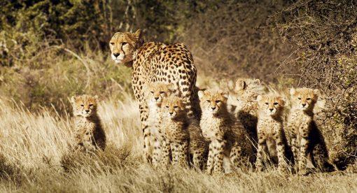 Cheetahs United