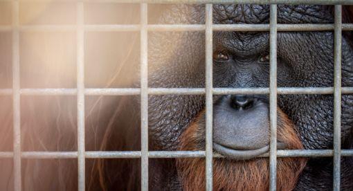 Eyes of the Orangutan