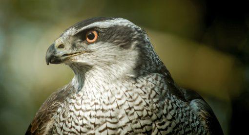 Raptors – A Fistful of Daggers
